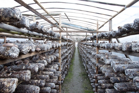 shiitake mushrooms being cultivated the traditional organic way photo