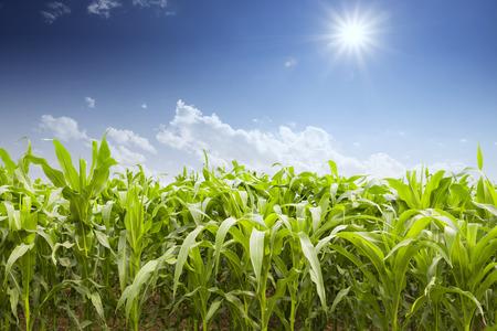 スカイラインとトウモロコシのフィールド