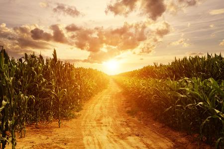 maiz: horizonte y maíz de campo Foto de archivo