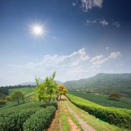 tea plantations: Tea Plantations
