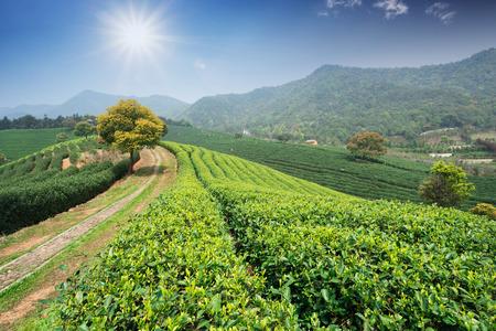 plantations: Tea Plantations