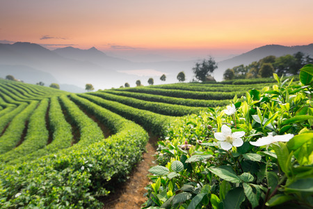 tea plantation: Tea Plantations