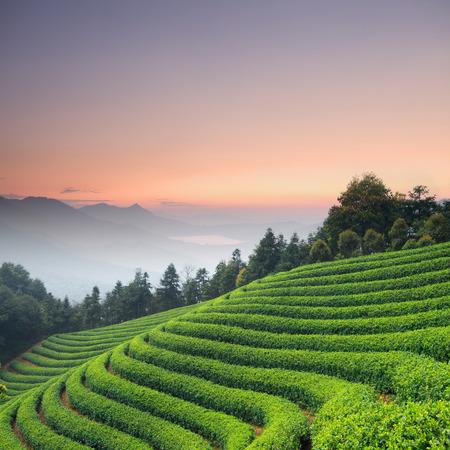 tea plant: Tea Plantations
