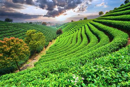 Tea Plantations under sky during sunset