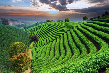 Plantaciones de té bajo el cielo durante la puesta de sol
