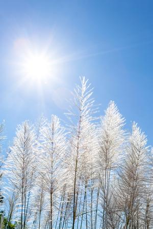 canne: canne bianche e cielo azzurro