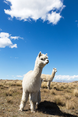 pature with animal in new zealand farm in blue sky Stock Photo