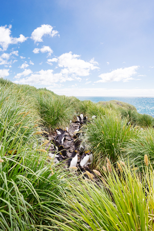penguins on beach: penguins play in grassy cliff in antarctic