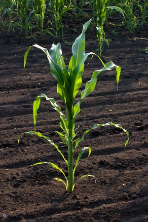 Corn stalk photo