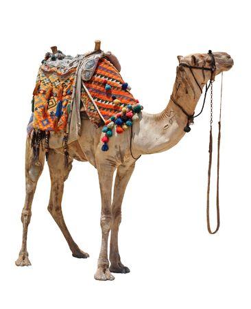 La solitaria camellos domésticas en blanco.