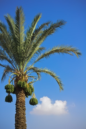 torrid: The date-palm with dates at a sky background