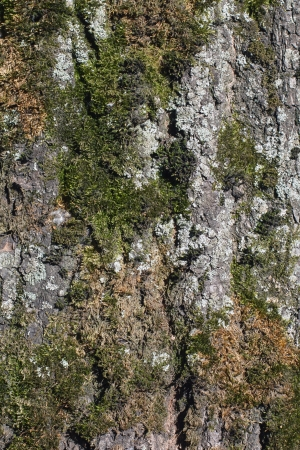 Moss and lichen on the bark of a tree photo