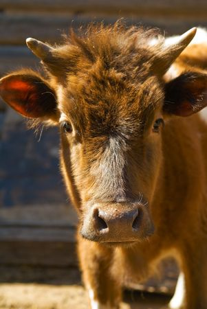Small redhead calf stand in roundup photo