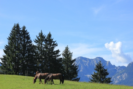 unleashed: Unleashed horses grazing in Bavarian Alps  Stock Photo