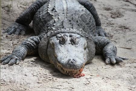 American Alligator at The Everglades National Park, Florida  Stock Photo