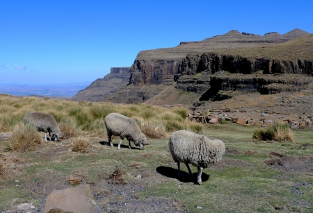 lesotho: Mohair sheep in Lesotho, Africa Stock Photo