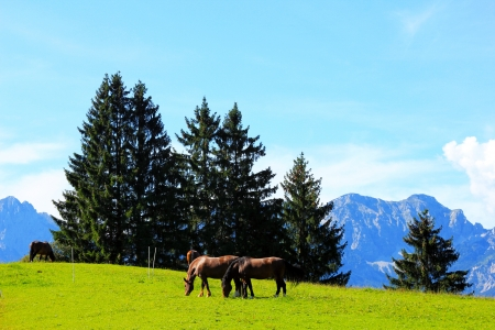 unleashed: Unleashed horses grazing in Bavarian Alps