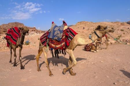 east riding: Beduin Camels, Petra, Jordan