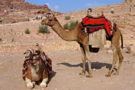 Beduin Camels, Petra, Jordan photo