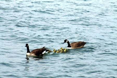 Canadian goose family with baby gos photo