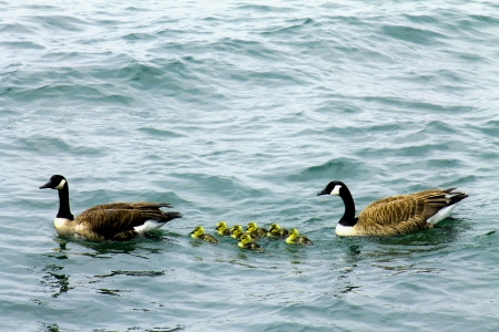 Canadian goose family with baby gos
