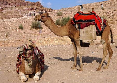Bedouin camels in Petra, Jordan