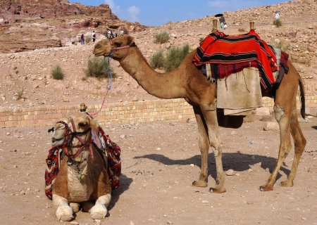 east riding: Bedouin camels in Petra, Jordan