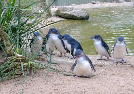 Cute Australian little penguins