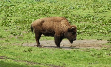 north gate: American bison