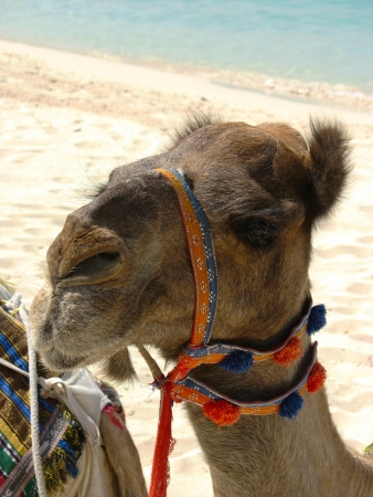 Camel on the beach in Dubai, UAE photo