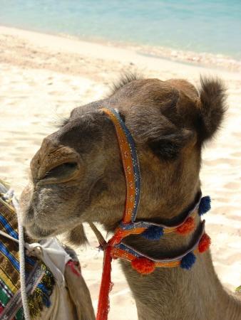 Camel on the beach in Dubai, UAE 版權商用圖片