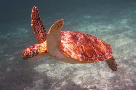 Hawksbill Sea Turtle Stock Photo - 20892112