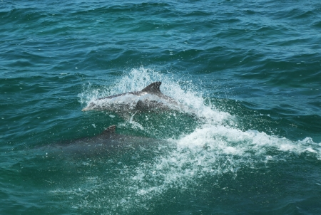 Bottlenose Dolphins Stock Photo