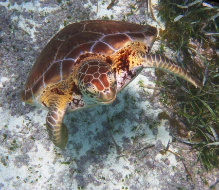 hard coral: Hawksbill Sea Turtle  Stock Photo
