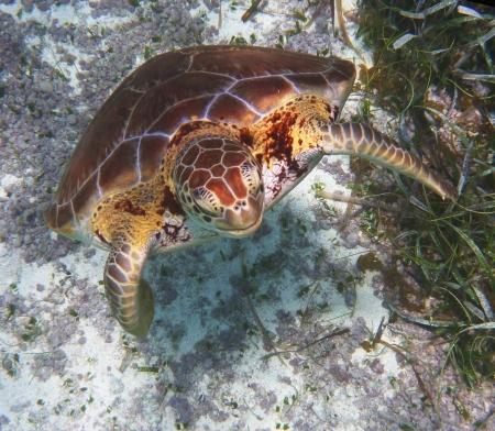pez pecera: La tortuga carey