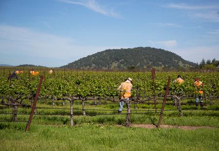 silverado: NAPA VALLEY, CA - APRIL 16  Workers pruning wine grapes in vineyard on April 16, 2014 in Napa Valley