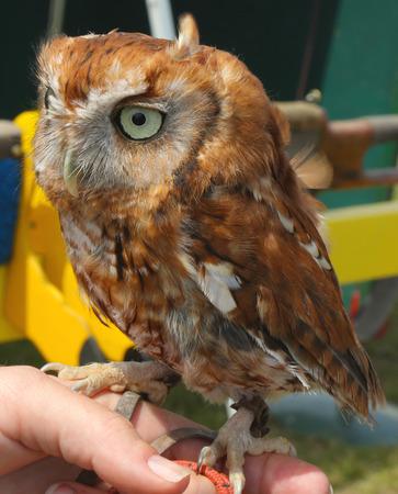 bajo y fornido: Tawny Owl El polluelo de c�rabo o el b�ho de Brown es un, b�ho de tama�o medio bajo y fornido que se encuentra com�nmente en los bosques a trav�s de gran parte de Eurasia Foto de archivo