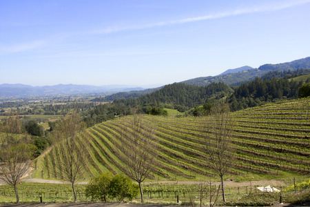 sauvignon blanc: Typical landscape with rows of grapes  in the wine growing region of Napa Valley Stock Photo
