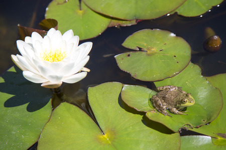 Frog resting on a lotus leaf  photo