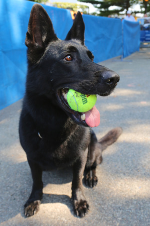 NEW YORK - AUGUST 26: Belgian Shepherd K-9 Taylor providing security at National Tennis Center during US Open 2014 on August 26, 2014 in New York