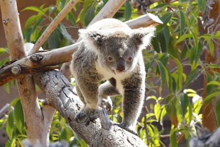 Koala in San Diego Zoo