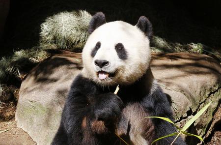 San Diego 動物園でジャイアント パンダ Bai Yun