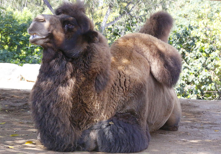 one humped: Bactrian camel