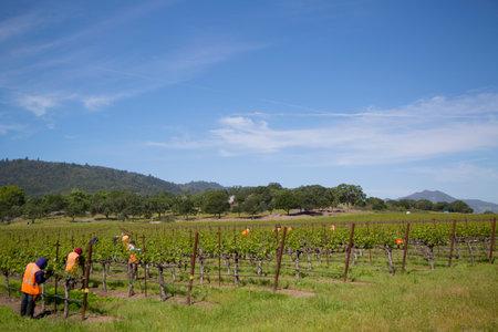 silverado: NAPA VALLEY, CA - APRIL 16: Workers pruning wine grapes in vineyard on April 16, 2014 in Napa Valley.