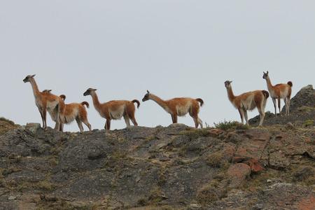 patagonia: Guanaco in Chilean Patagonia