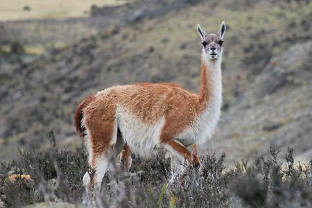 guanaco: Guanaco in Chilean Patagonia