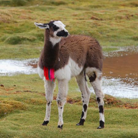 to muffle: Llama on the meadow