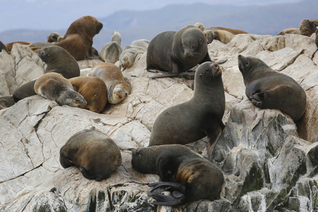 phalacrocoracidae: Sea Lions at the Sea Lions island in Beagle Channel, Argentina Stock Photo