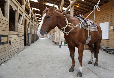saddle: Brown horse in stable rigged with saddle and reins Stock Photo
