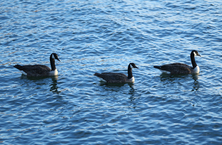 canadian geese: Three Canadian Geese swimming in a lake Stock Photo